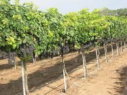 Texas Wine Trail